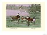 White-Headed and Ruddy Ducks