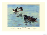 Surf Scoter Ducks