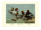 Canvas-Back  Common Pochard and Red-Head Ducks