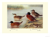 Maccoa and Blue-Billed Ducks