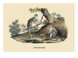 Singes Monkeys Reproduction d'art par E.f. Noel