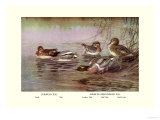 European and American Teal Duck