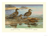 Hawaiian Duck and Oustalet's Gray Duck