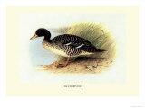 Salvadori's Duck