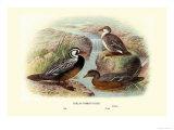Chilean Torrent Ducks