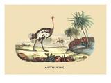 Autruche (Ostrich)