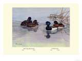 New Zealand Scaup and Tufted Ducks