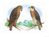 Hen Hawk and Swainson&#39;s Hawk