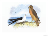 Swallow-Tailed Kite and Marsh Hawk