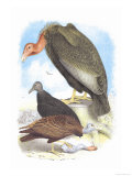 California Condor  Turkey Buzzard  and Carrion Crow