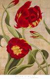 Tulip Tango I