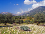 Olive Groves  Cephalonia  Ionian Islands  Greece  Europe