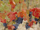 Autumn Colours in a Vineyard  Barbera Grape Variety  Barolo  Serralunga  Piemonte  Italy  Europe