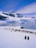 Gentoo Penguins  Antarctic Peninsula  Antarctica