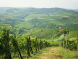 Typical Landscape of Vines in the Colli Piacentini  Piacenza  Emilia Romagna  Italy  Europe
