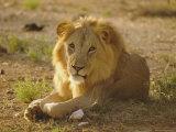 Lion (Panthera Leo)  Sambura  Kenya  Africa