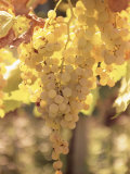 Close-up of Malvasia Grapes in Vineyard Outside Frascati  Frascati  Lazio  Italy  Europe