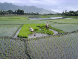 Paddy Fields  Farmers Planting Rice  Kashmir  India