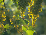 Garganega Grapes  Soave  Veneto  Italy  Europe