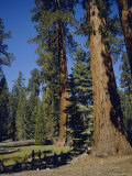 Giant Sequoia Trees  Mariposa Grove  Near Yosemite  California  USA