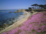 Carpet of Mesembryanthemum Flowers  Pacific Grove  Monterey  California  USA