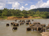 Elephants Bathing in the River  Pinnewala Elephant Orphanage Near Kegalle  Sri Lanka  Asia