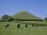 Cattle Grazing in Front of Glastonbury Tor  Glastonbury  Somerset  England  UK  Europe