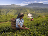 Women Tea Pickers  Tea Hills  Hill Country  Nuwara Eliya  Sri Lanka  Asia