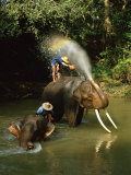 Elephants Being Washed in the River Near Chiang Mai  the North  Thailand