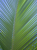 Detail of a Palm Tree Leaf (Frond)  Mahe Island  Seychelles  Indian Ocean  Africa