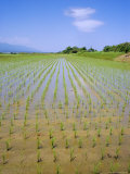 Rice Fields on Sado Island  off West Coast of Honshu  Japan