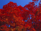 Trees in Autumn Colours  Hokkaido  Japan  Asia