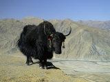 Yak  Tibet  Asia