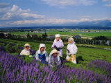 Lavender Fields  Furano  Hokkaido  Japan