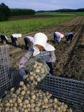 Potato Harvest  Hokkaido  Japan  Asia