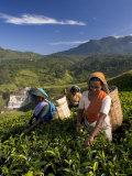 Women Tea Pickers  Tea Hills  Hill Country  Nuwara Eliya  Sri Lanka  Asia