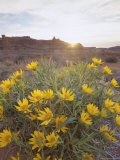 Desert Flowers in Arches National Park  Utah  USA