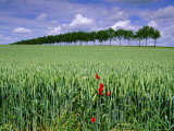 Poppies and Field of Wheat  Somme  Nord-Picardie (Picardy)  France  Europe