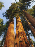 Giant Sequoia Tree  Sequoia National Park  California  USA