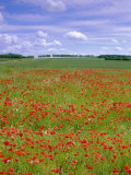 Poppies in the Valley of the Somme Near Mons  Nord-Picardie (Picardy)  France  Europe