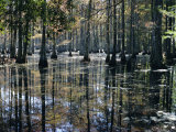 Cypress Swamp  Cypress Gardens  North Charleston  South Carolina  USA