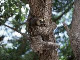 A Sloth Bear in a Tree  Venezuela  South America