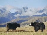 Yaks Near Nyalam, Tibet, China, Asia Papier Photo par Jane Sweeney