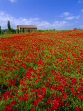 Field of Poppies and Barn  Near Montepulciano  Tuscany  Italy