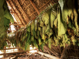 Tobacco Leaves on Racks in Drying Shed  Vinales  Cuba  West Indies  Central America