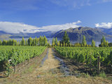 Vineyards at Winery on Shores of Lake Wanaka  South Island  New Zealand