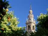 Top of the Giralda Framed by Orange Trees  Seville  Andalucia (Andalusia)  Spain  Europe