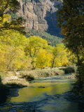 Golden Cottonwood Trees on Banks of the Virgin River  Zion National Park  Utah  USA