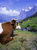 Cows at Alpiglen  Grindelwald  Bernese Oberland  Swiss Alps  Switzerland  Europe