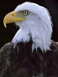 Close-up of the Head of a Bald Eagle  Haliaeetus Leucocephalus  Chateau De Beaucaire  Gard  France
